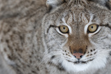 Portrait Of A European Lynx (Lynx Lynx), Captive, Norway, February Photographic Print by Edwin Giesbers