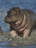 Baby Hippopotamus (Hippopotamus Amphibius) Playing In Water, Chobe River, Botswana Photographic Print by Lou Coetzer
