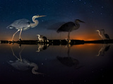 Herons At Night On Lake Csaj, Kiskunsag National Park, Hungary. Winner Of The Birds Category Photographic Print by Bence Mate