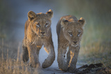 Two African Lion (Panthera Leo) Cubs Walking On A Path. Okavango Delta, Botswana Fotodruck von Wim van den Heever