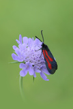 Moth (Zygaena Osterodensis) Feeding On Flower, Viscos, Pyrenees National Park, France, July Photographic Print by Robert Thompson