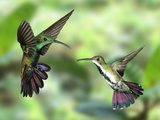 Black-Throated Mango Hummingbird (Anthracothorax Nigricollis) Male And Female In Flight Photographic Print by Kim Taylor