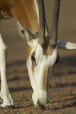 Scimitar-Horned Oryx (Oryx Dammah), Dubai Desert Conservation Reserve, Dubai, Uae Photographic Print by Staffan Widstrand