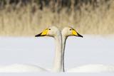 Whooper Swan (Cygnus Cygnus) Male And Female Facing In Opposite Directions, Central Finland, April Impressão fotográfica por Jussi Murtosaari