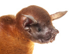 Greater Bulldog Bat (Noctilio Leporinus) Portrait, Surama, Guyana. Meetyourneighbours.Net Project Photographic Print by Andrew Snyder