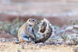 Ground Squirrel (Xerus Inauris) Sitting On Tail, Kgalagadi Transfrontier Park, Northern Cape Photographic Print by Ann & Steve Toon
