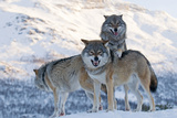 Three European Grey Wolves (Canis Lupus), Captive, Norway, February Photographic Print by Edwin Giesbers