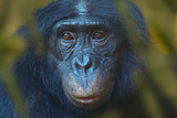 Bonobo (Pan Paniscus) Captive, Portrait, Occurs In The Congo Basin. Leaves Digitally Added Fotografisk tryk af Ernie Janes