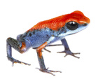 Strawberry Poison Frog (Oophaga Pumilio) Escudo De Veraguas, Panama. Meetyourneighbours.Net Project Photographic Print by Jp Lawrence