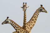 Masai Giraffes (Giraffa Camelopardalis Tippelskirchi) Group Of Three Photographic Print by  Denis-Huot