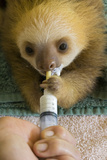 Hoffmann'S Two-Toed Sloth (Choloepus Hoffmanni) Orphaned Baby Bottle Feeding Photographic Print by Suzi Eszterhas