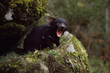 Tasmanian Devil Calling (Sarcophilus Harrisii) Tasmania Australia Photographic Print by John Cancalosi