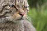 Scottish Wildcat (Felis Sylvestris), Captive, UK, June Fotografisk tryk af Ann & Steve Toon