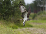 Osprey (Pandion Haliaetus) Flying With Fish Prey, Pirkanmaa, Finland, August Photographic Print by Jussi Murtosaari
