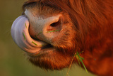 Highland Cattle Cow (Bos Taurus) Cleaning Nose With Tongue Photographic Print by  Widstrand