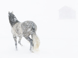 Horse In Snow Storm With Shed In Background, USA Photographic Print by Carol Walker