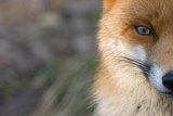 Red Fox (Vulpes Vulpes) Close-Up Of Half Of Face, Captive Photographic Print by Edwin Giesbers