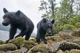 Vancouver Island Black Bears (Ursus Americanus Vancouveri) Taken With Remote Camera Photographic Print by Bertie Gregory