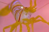 A Portrait Of A Small Candy Stripe Shrimp (Lebbeus Grandimanus) Photographic Print by Alex Mustard
