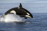 Orca (Orcinus Orca) Breaching Whilst Hunting Common Dolphin, False Bay, South Africa, April Photographic Print by Chris & Monique Fallows