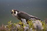 Peregrine Falcon (Falco Peregrinus) Feeding On Wood Pigeon With Flies Buzzing Around Photographic Print by Peter Cairns