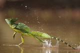 Green - Double-Crested Basilisk (Basiliscus Plumifrons) Running Across Water Surface Photographic Print by Bence Mate
