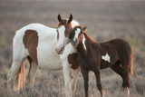 Wild Mustang Pinto Foal Nuzzling Up To Mother, Sand Wash Basin Herd Area, Colorado, USA Photographic Print by Carol Walker