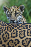 Jaguar (Panthera Onca) Cub Looking Over Its Mother'S Back Photographic Print by Edwin Giesbers