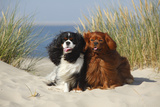 Cavalier King Charles Spaniels With Tricolor And Ruby Colourations On Beach, Texel, Netherlands Impressão fotográfica por Petra Wegner