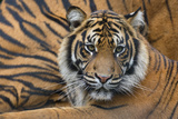 Sumatran Tiger (Panthera Tigris Sumatrae), Captive, Occurs In Sumatra, Indonesia Photographic Print by Edwin Giesbers