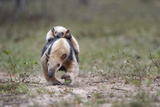 Southern Tamandua (Tamandua Tetradactyla) Female Carrying Young On Her Back Photographic Print by Nick Garbutt