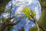 Ash Tree (Fraxinus Excelsior) Fish Eye View Of Newly Emerged Leaves, Derbyshire, UK, May Photographic Print by Alex Hyde
