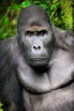 Silverback Male Eastern Lowland Gorilla (Gorilla Beringei Graueri) Photographic Print by Eric Baccega