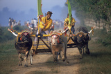 Traditional Racing With Water Buffalo Chariots, Bali, Indonesia Photographic Print by John Downer