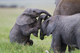 Young African Elephants (Loxodonta Africana) Playing And Sparing, Masai Mara, Kenya, Africa Photographic Print by Mark Macewen
