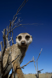 Meerkat Looking Into Lens (Suricata Suricatta) Tswalu Kalahari Reserve, South Africa Photographic Print by Simon King