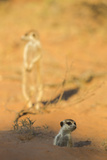 Meerkat (Suricata Suricatta) Emerging From Burrow, Kgalagadi Transfrontier Park, Northern Cape Photographic Print by Ann & Steve Toon