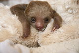 Hoffmann'S Two-Toed Sloth (Choloepus Hoffmanni) Orphaned Baby With Cuddly Toy Photographic Print by Suzi Eszterhas