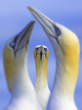 Northern Gannets (Morus - Sula Bassanus) Portrait Of Individual With A Courting Pair In Foreground Photographic Print by Ben Hall