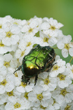 Rose Chafer Beetle (Cetonia Aurata) Feeding On Flowers, Sussex, UK, June Photographic Print by Simon Colmer