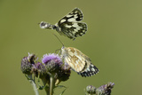 Female Marbled White Butterfly (Melanargia Galathea) Feeding Photographic Print by Nick Upton