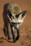 Bat-Eared Fox (Otocyon Megalotis) Walking, Namib-Naukluft National Park, Namib Desert, Namibia Photographic Print by Solvin Zankl