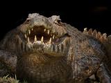 Yacare Caiman (Caiman Yacare) With Mouth Open To Keep Cool, Pantanal, Brazil Photographic Print by Angelo Gandolfi
