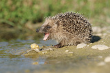 Hedgehog About To Feed On Snail (Erinaceus Europaeus) Germany Photographic Print by Dietmar Nill