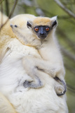 Infant Golden-Crowned Sifaka (Propithecus Tattersalli) On Its Mother'S Back Photographic Print by Nick Garbutt