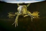 Pool Frog (Pelophylax Lessonae) Split Level View, Near Crisan Village, Danube Delta, Romania, June Photographic Print by  Lundgren