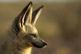 Bat-Eared Fox (Otocyon Megalotis) Portrait, Namib-Naukluft National Park, Namib Desert, Namibia Photographic Print by Solvin Zankl