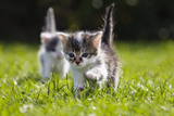Kittens Exploring Garden Lawn, Germany Photographic Print by Konrad Wothe