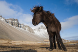 Young Icelandic Horse Near Stokkness, Iceland, March Photographic Print by Niall Benvie