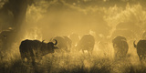 Herd Of African Buffalo (Syncerus Caffer) Silhouetted In Mist, Okavango Delta, Botswana Photographic Print by Wim van den Heever